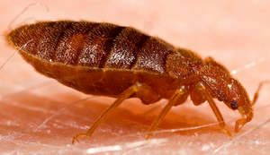 Bradenton Bed bugs can spread fast. Get rid of them with Pestguard.