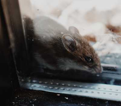 Rodent control is important to keep rats out
